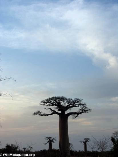 Baobabs (Morondava) [baobabs0151]