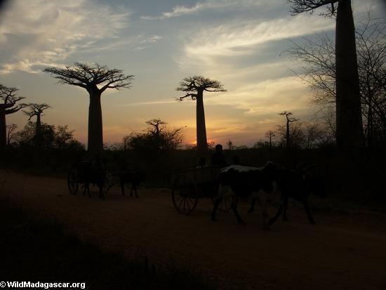 Baobabs with zebu cart (Morondava) [baobabs0153]