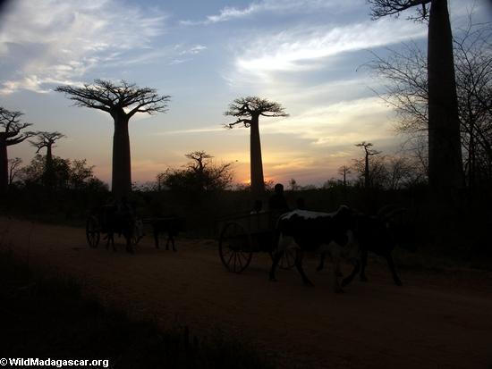 Baobabs with zebu cart (Morondava)