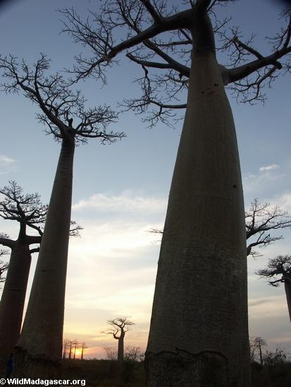 Baobabs (Morondava) [baobabs0154]