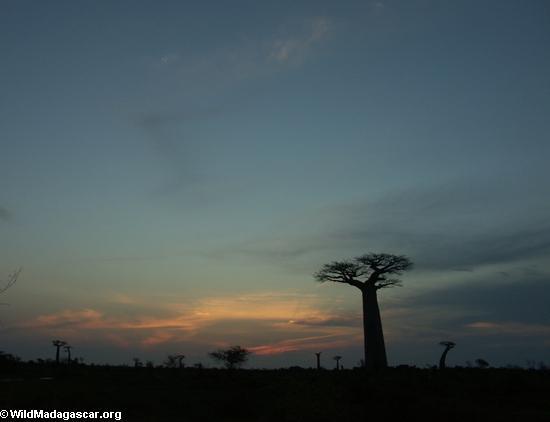 Baobabs at sunset (Morondava)