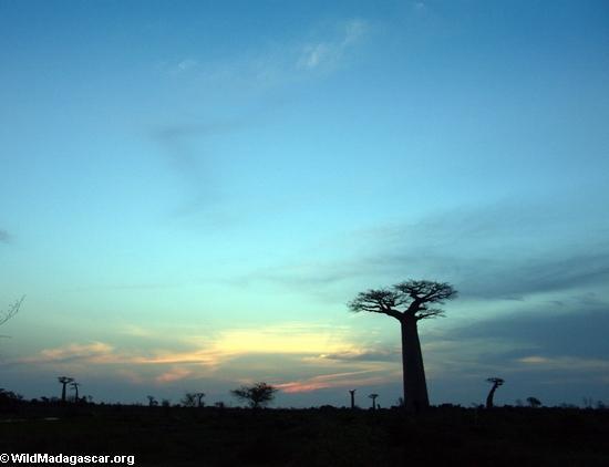 Baobabs at sunset (Morondava) [baobabs0162a]