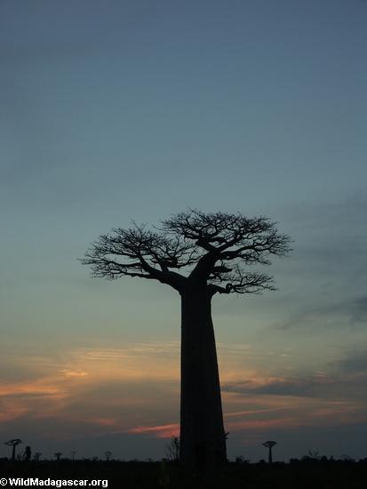 Baobabs at sunset (Morondava) [baobabs0164]