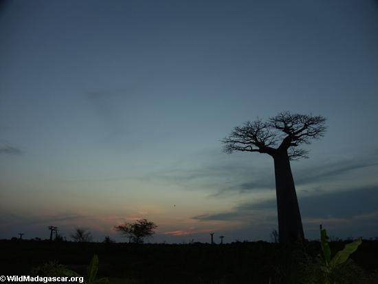 Baobabs at sunset (Morondava) [baobabs0167]
