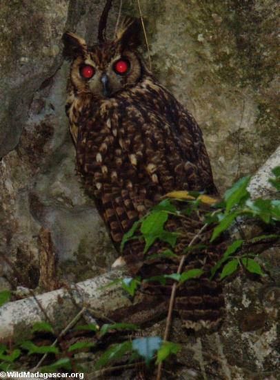 Asio madagascariensis owl