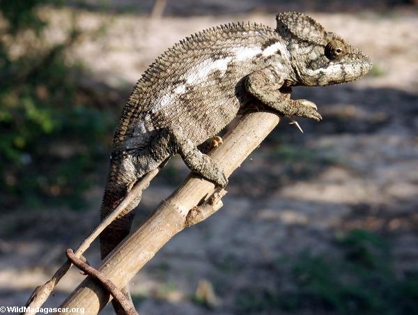Jeweled chameleon at Bekopaka (Tsingy de Bemaraha)