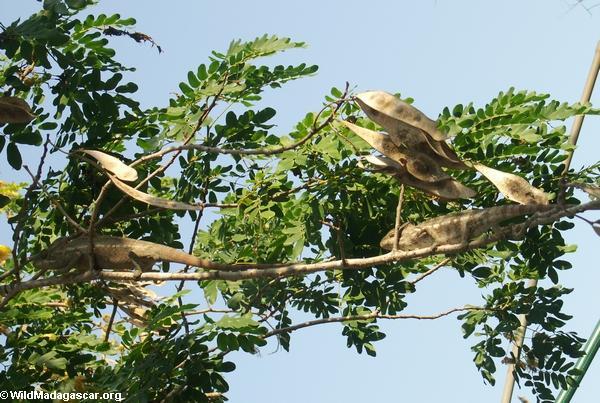 Oustaleti chameleon at Bekopaka camp (Tsingy de Bemaraha)