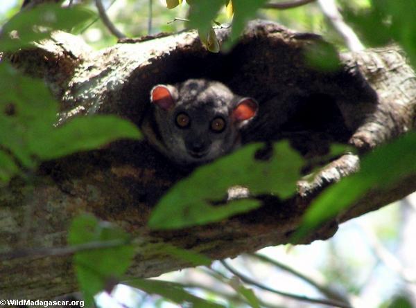Lepilemur edwardsi lemur (Tsingy de Bemaraha)