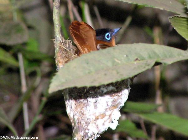 Madagascar Paradise-Flycatcher (Tsingy de Bemaraha)