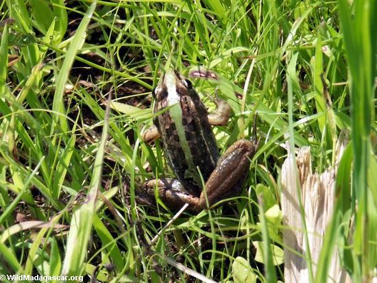 Mantidactylus curtus