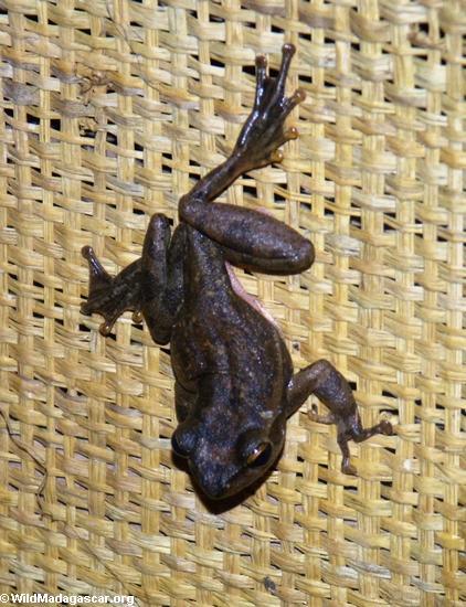 Frog in Bekopaka village (Tsingy de Bemaraha)