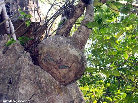 Bulbous succulent plant at petite (Tsingy de Bemaraha)