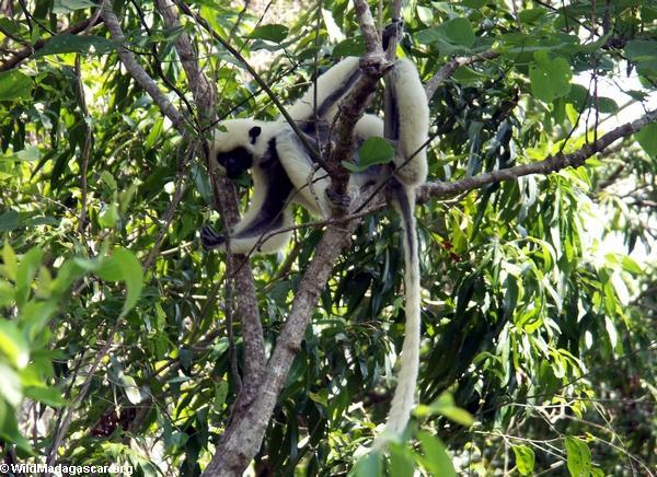 Propithecus verreauxi deckenii lemur (Tsingy de Bemaraha)