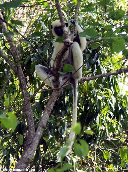 Propithecus verreauxi deckenii (Tsingy de Bemaraha)