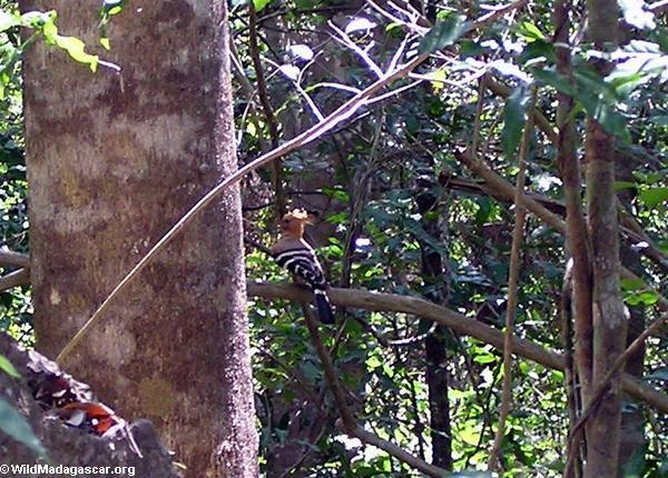 Forest bird (Tsingy de Bemaraha)