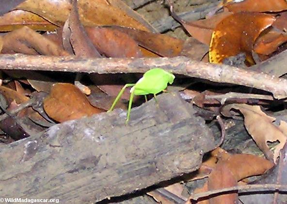 Green katydid (Tsingy de Bemaraha)