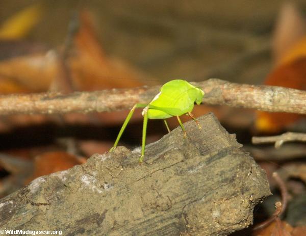 katydid (Tsingy de Bemaraha)
