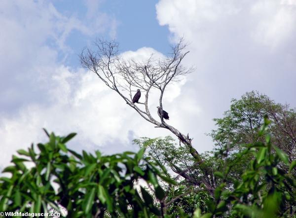 Madagascar fish eagle (Tsingy de Bemaraha)