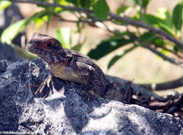 Madagascar iguana (Tsingy de Bemaraha)