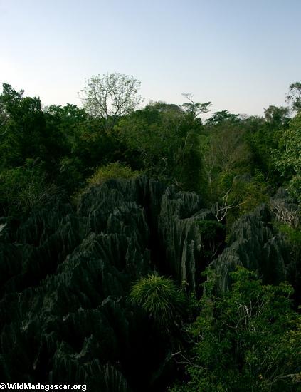 petite tsingy forest (Tsingy de Bemaraha)