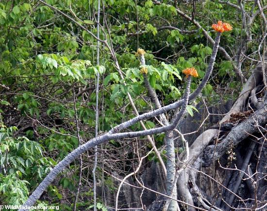 Orange flower found at the Petite tsingy (Tsingy de Bemaraha)