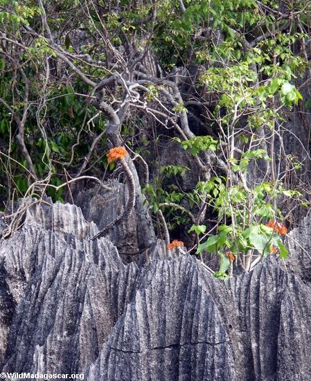petite tsingy orange Blumen