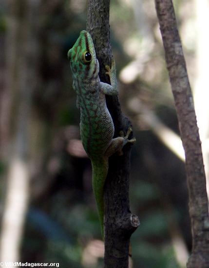Phelsuma madagascariensis (Tsingy de Bemaraha)