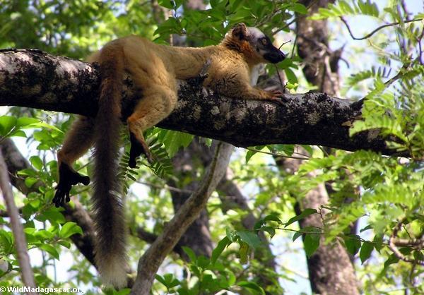 Red-fronted brown lemur (Eulemur fulvus rufus) (Tsingy de Bemaraha)