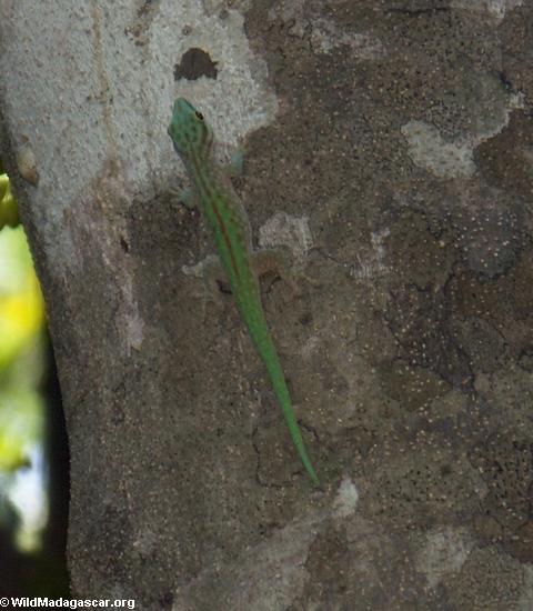 Phelsuma abbotti chekei gecko (Tsingy de Bemaraha)