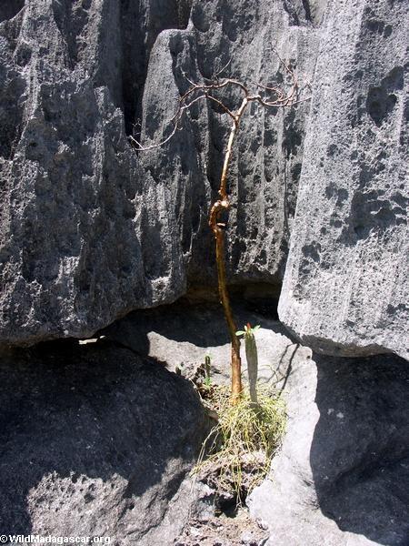 tsingy succlent (Tsingy de Bemaraha)