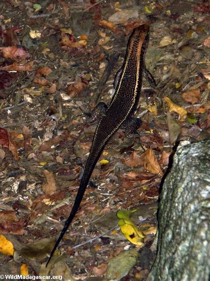 Zonosaurus lizard (Tsingy de Bemaraha)