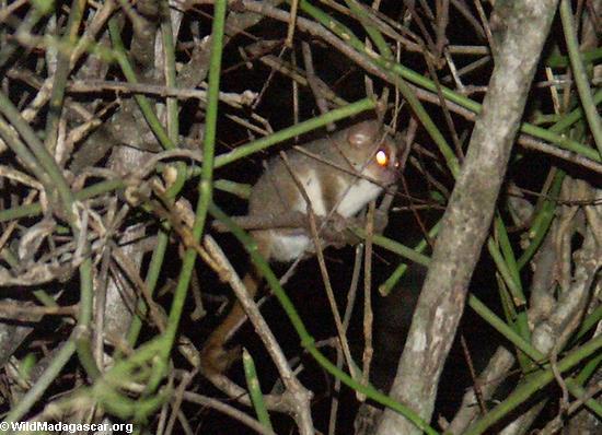 Grey mouse lemur (Berenty)