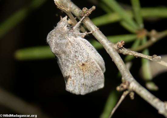 Grey moth(Berenty)