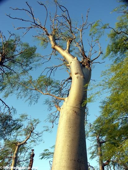 Baobab at Berenty(Berenty)