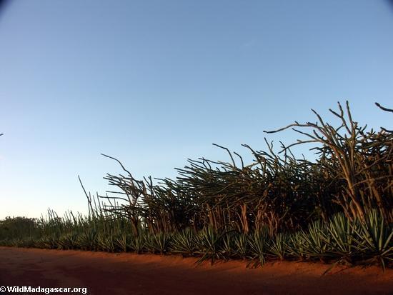 Spiny forest vegetation at sunset (Berenty) [berenty_sunset_veg0012]