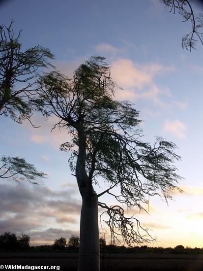 Spiny forest vegetation at sunset (Berenty)