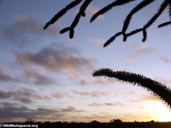 Spiny forest vegetation at sunset (Berenty) [berenty_sunset_veg0027]