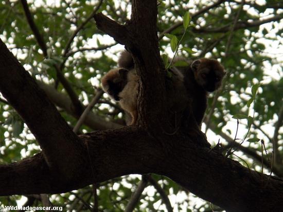 Pair of red-fronted brown lemur s (Berenty)