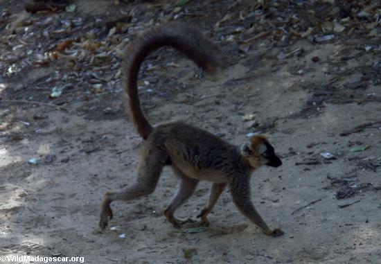 Red-fronted brown lemur at Berenty (Berenty)