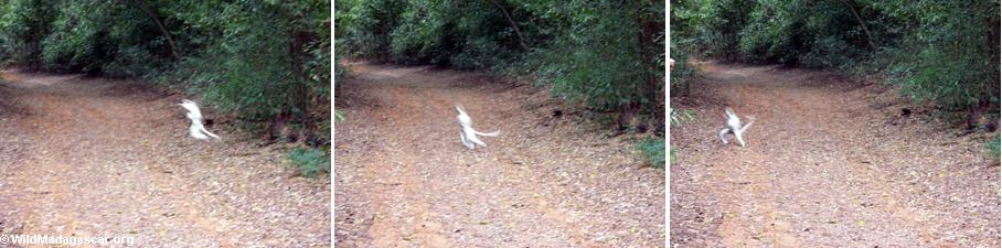 Leaping sifaka captured in a series of photos (Berenty)