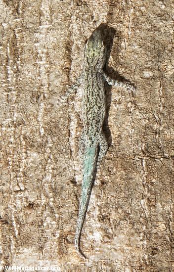 Phelsuma mutabilis gecko(Berenty)