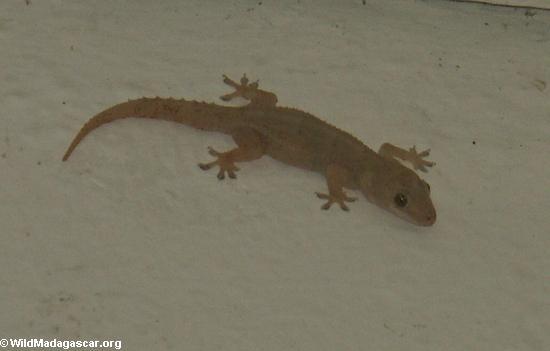 House gecko in Fort Dauphin (Berenty)