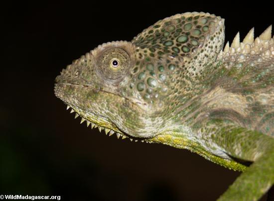 Furcifer verrucosus (green) (Berenty)