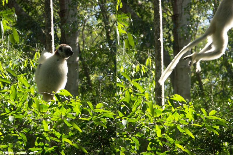 Leaping sifaka (trees) (Berenty)