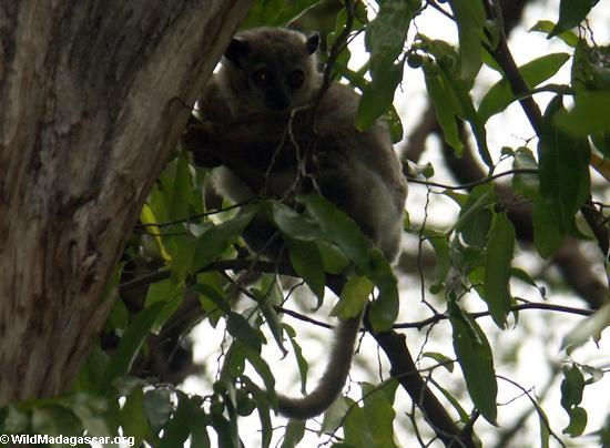 White-footed weasel lemur (Lepilemur leucopus) (Berenty)