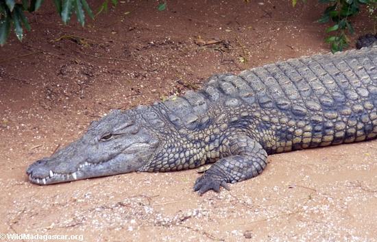 Nile crocodile (Crocodylus niloticus)(Berenty)