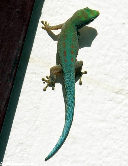 Phelsuma gecko in Fort Dauphin (Berenty)