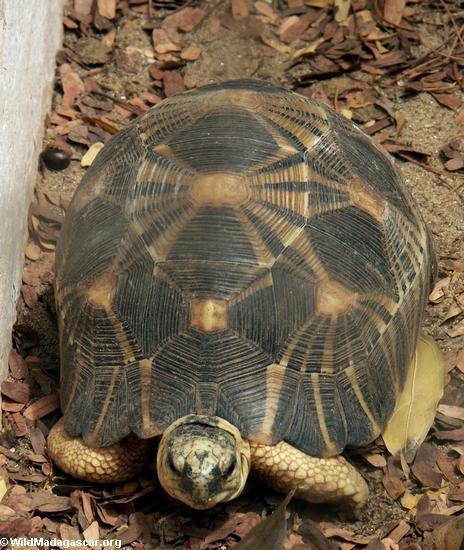 Madagascar radiated tortoise(Berenty)