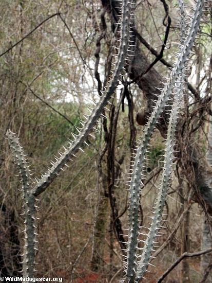 Spiny plant (Berenty)