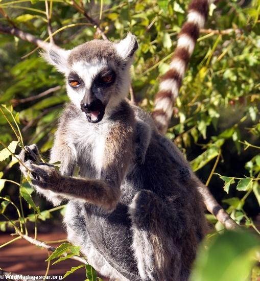 Ringtailed lemur eating leaves (Berenty)